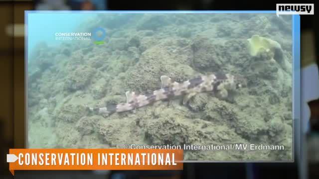 Walking__Shark_Species_Discovered_in_Indonesia.jpg