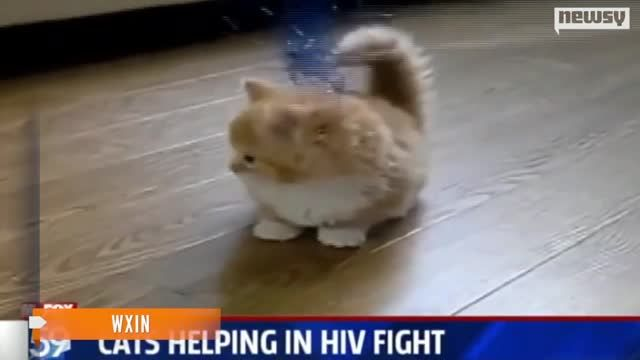 Could_Cats_Hold_Key_to_Human_HIV_Vaccine_.jpg